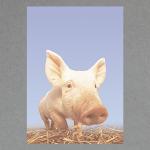 Schweinchen DIN A4