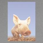 Schweinchen A4